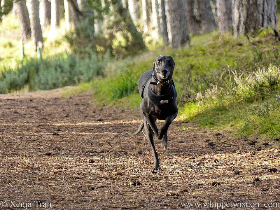 a smiling black whippet leaping along a forest trail in autumn