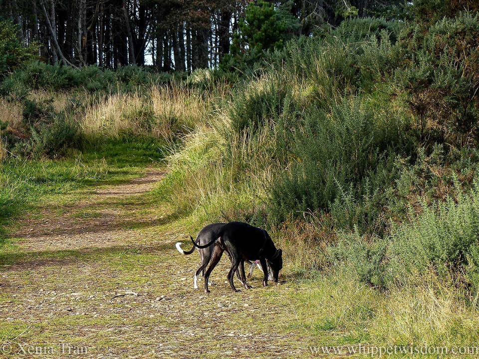two whippets sniffing the grass on a forest trail side by side