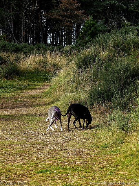 two whippets on a forest trail, one sniffing the grass