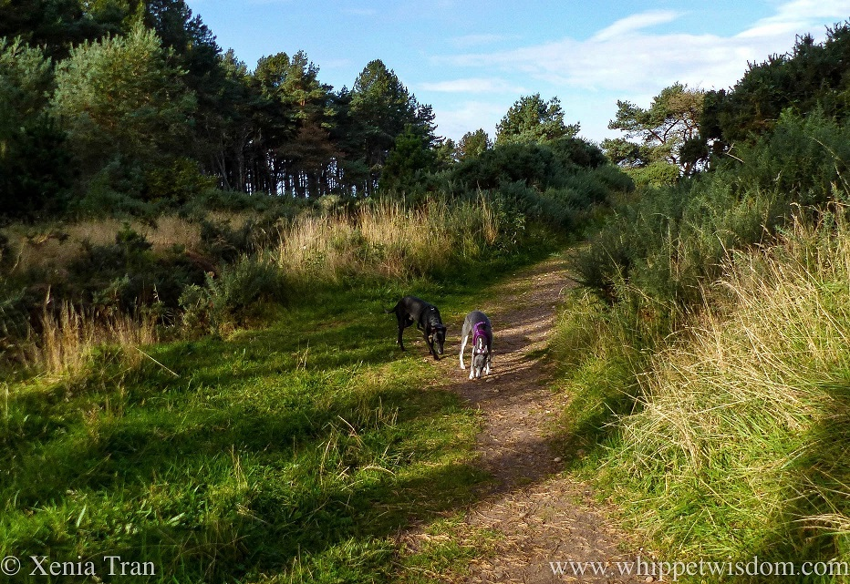 two whippets sniffing the grass on a forest trail