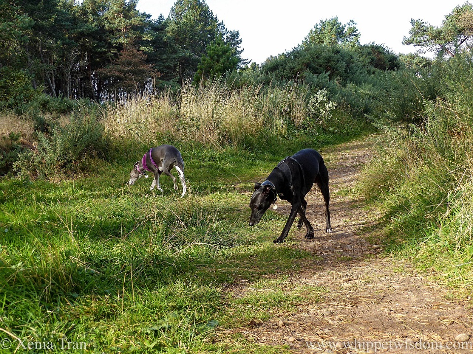 two whippets exploring the grounds on a coastal forest trail