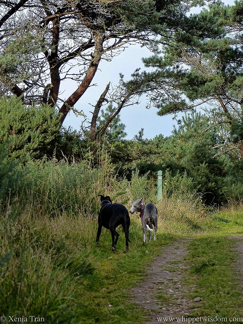 two whippets on a forest trail beneath a pine tree