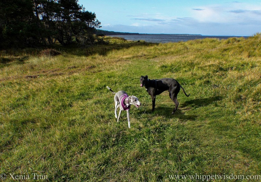 two whippets playing on top of the dunes