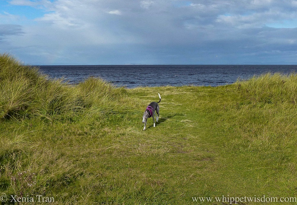 a blue and white whippet striding along the top of the dunes on a windy day