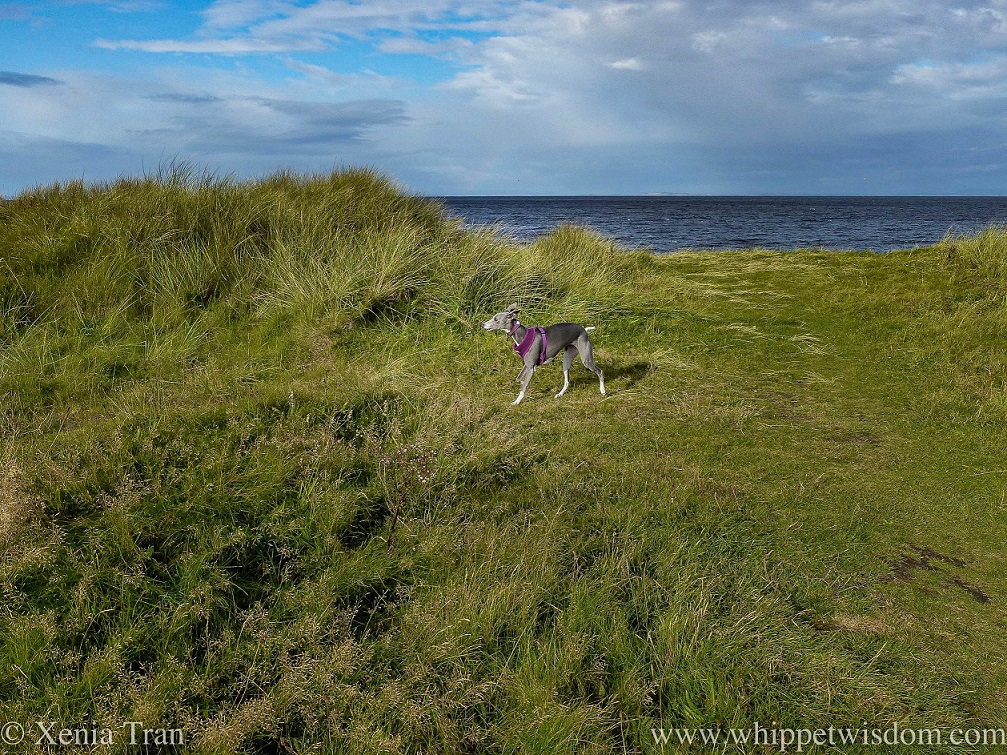 a blue and white whippet striding along the top of the dunes