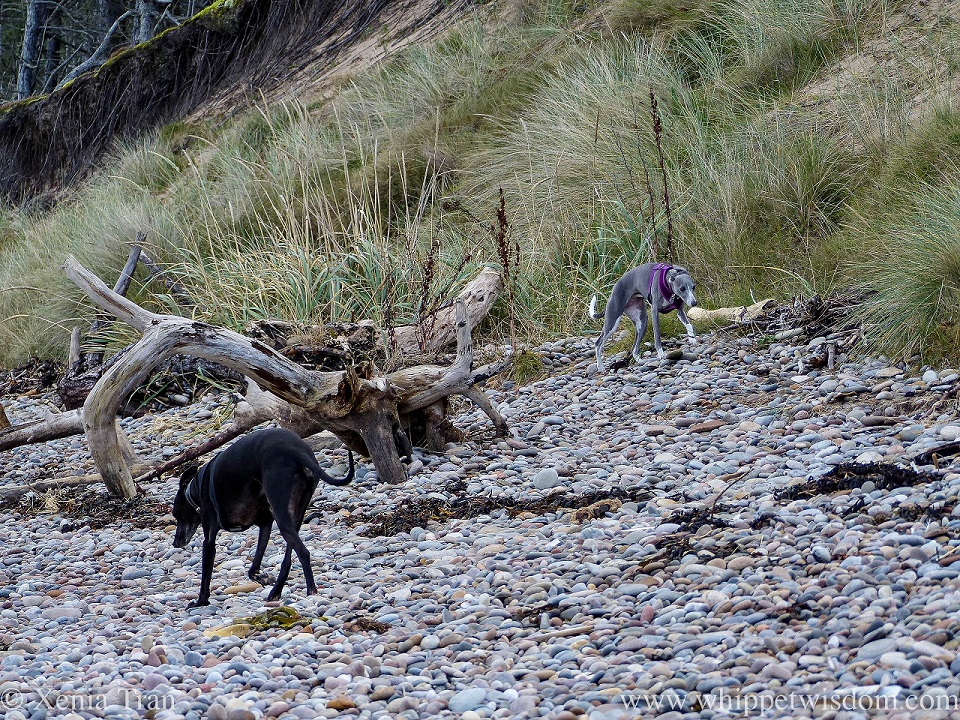 two whippets striding across shingle covered in seaweed and driftwood