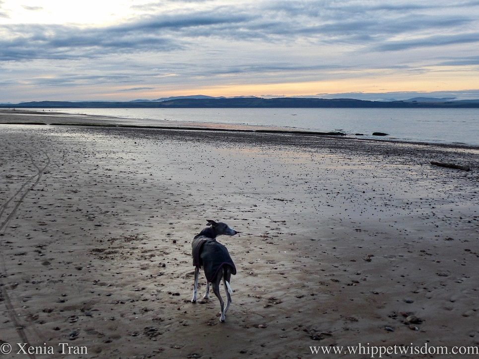 a blue and white whippet looking to her right towards the sunset from the beach