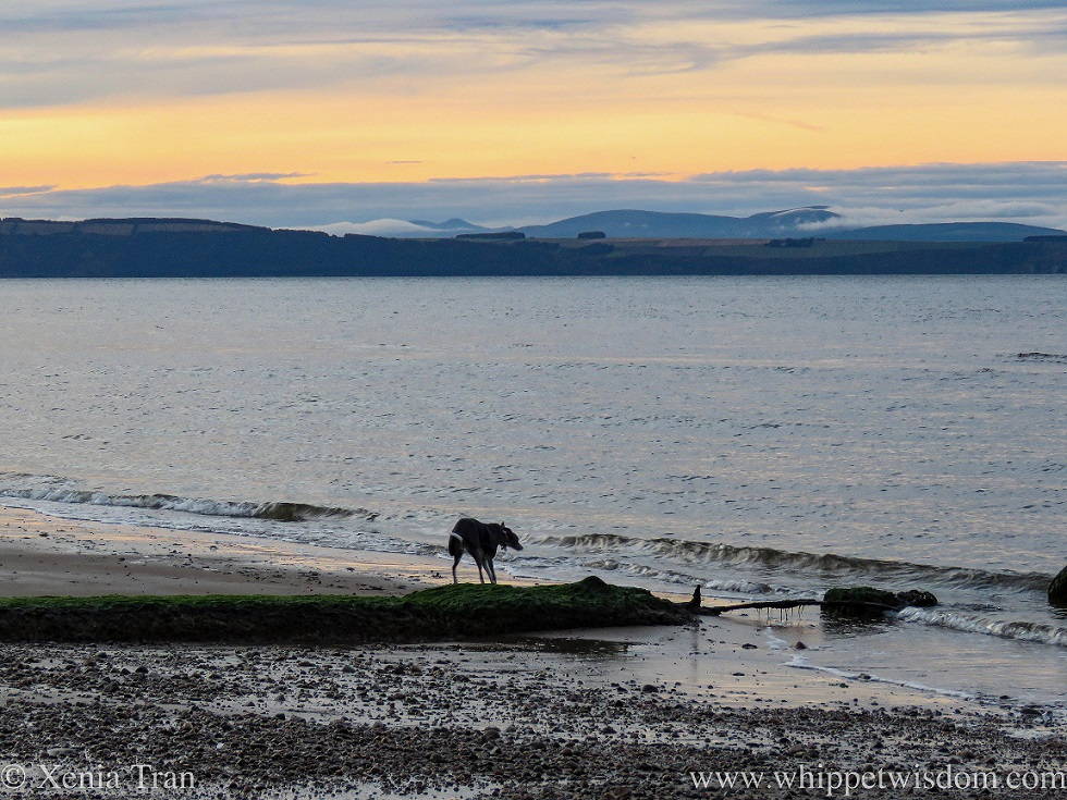 a whippet in a black jacket on the shore at sunset