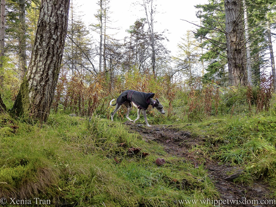 a blue and white whippet in a black jacket on a forest trail