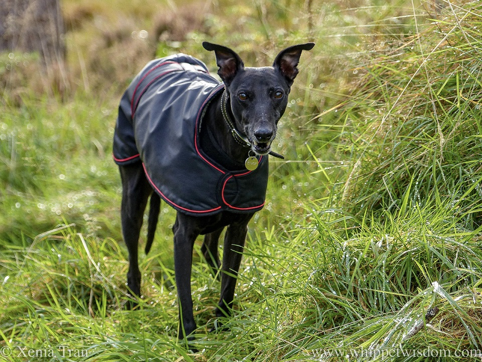 a smiling black whippet in a jacket in woodland grass