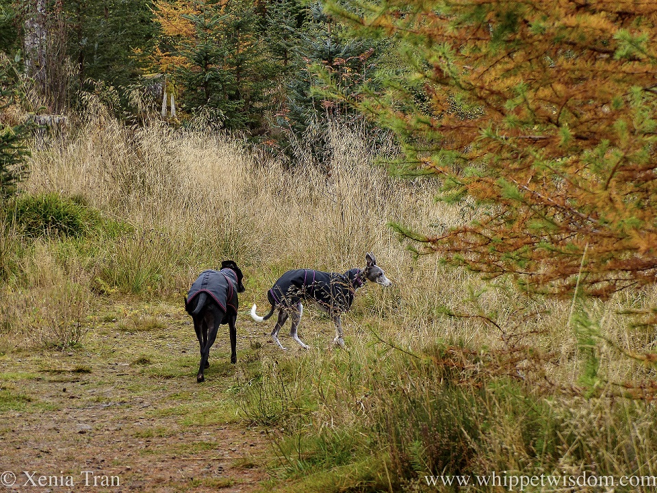 two whippets in black coats walking down a forest trail in autumn colours