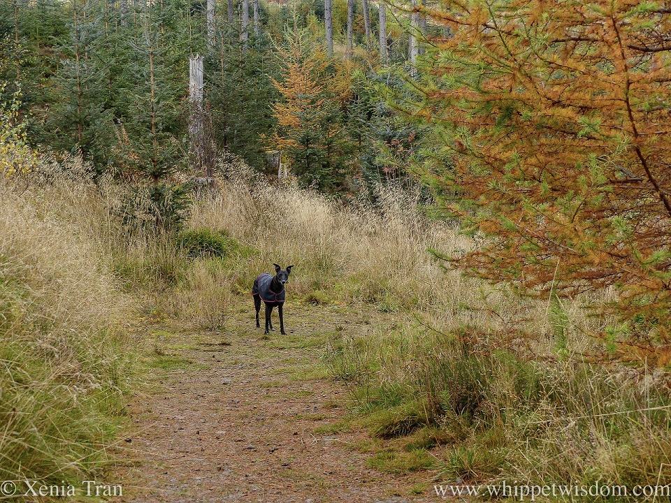 a black whippet in a black jacket waiting for his friends on a forest trail in autumn