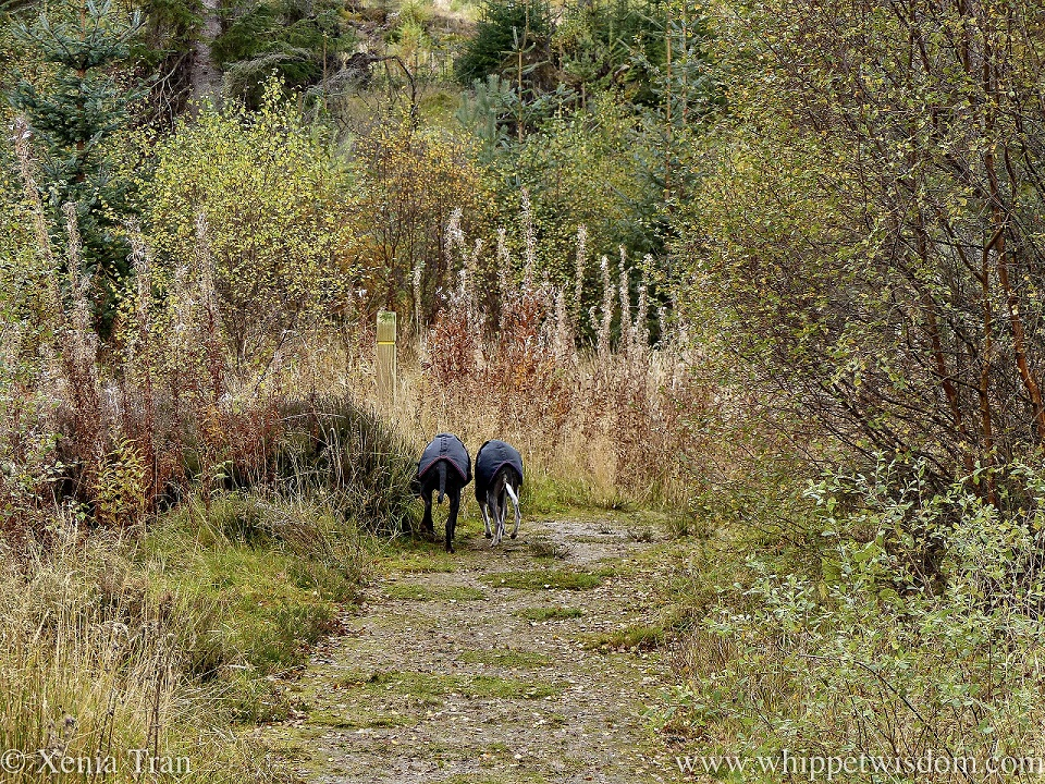 two whippets walking side by side down a forest trail in autumn