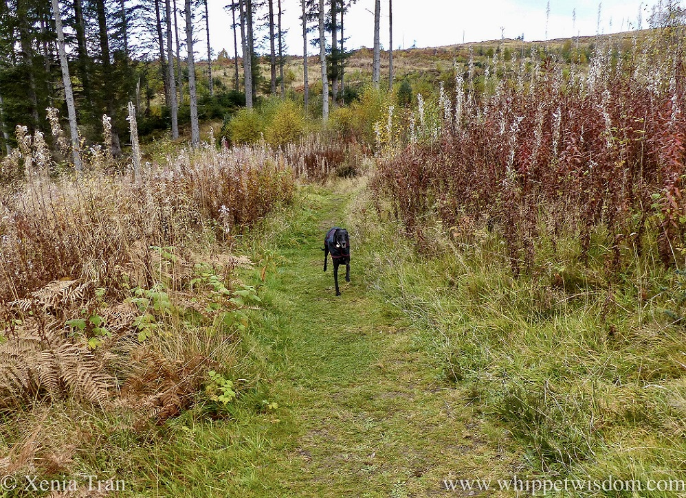 a black whippet in a black jacket zooming down a forest trail