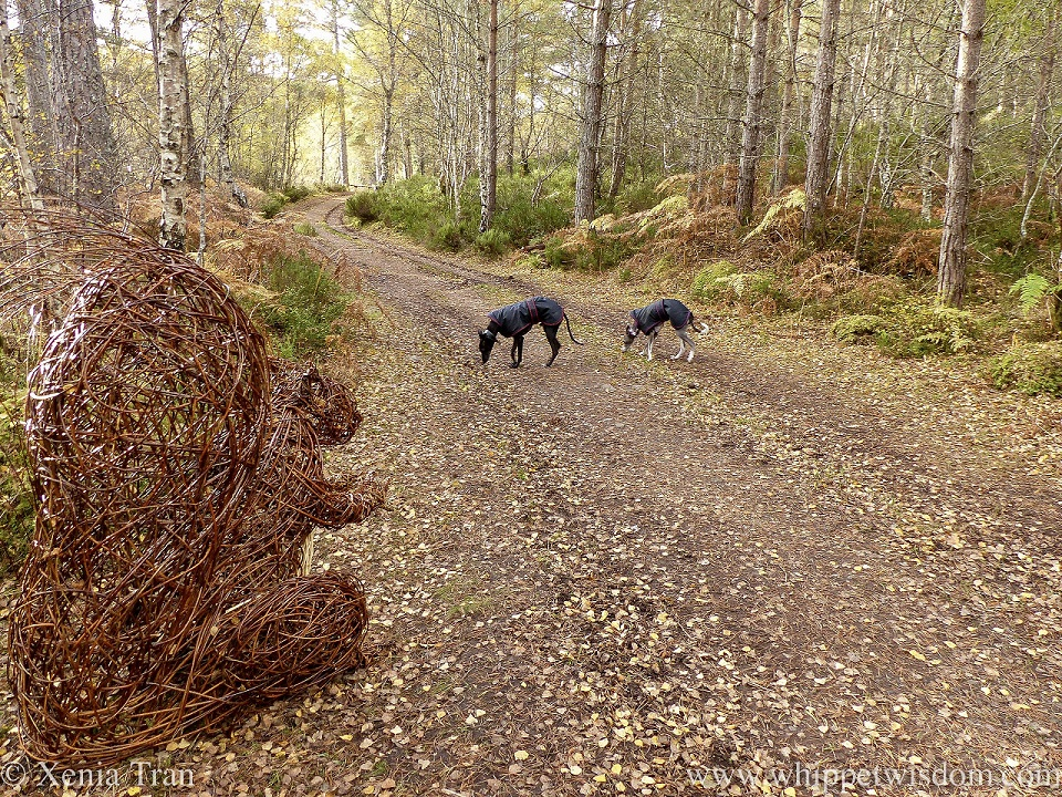 a blue and white whippet and a black whippet in black jackets on a leaf-strewn forest trail