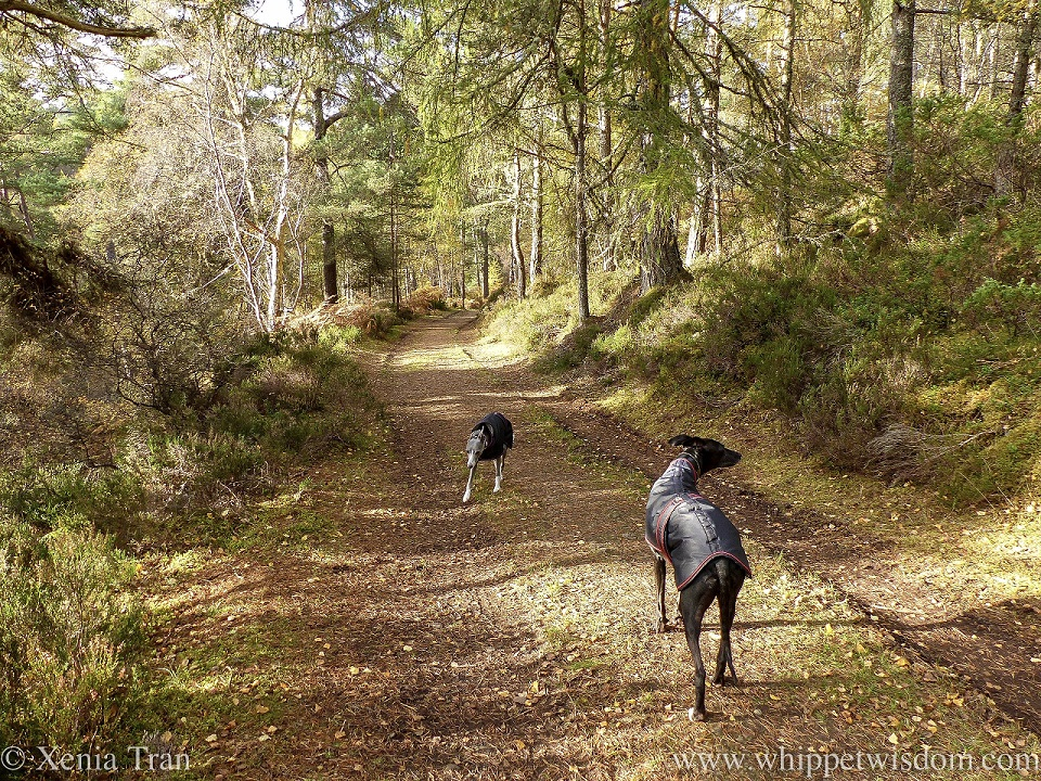 a black whippet and a blue and white whippet in winter jackets on a forest trail