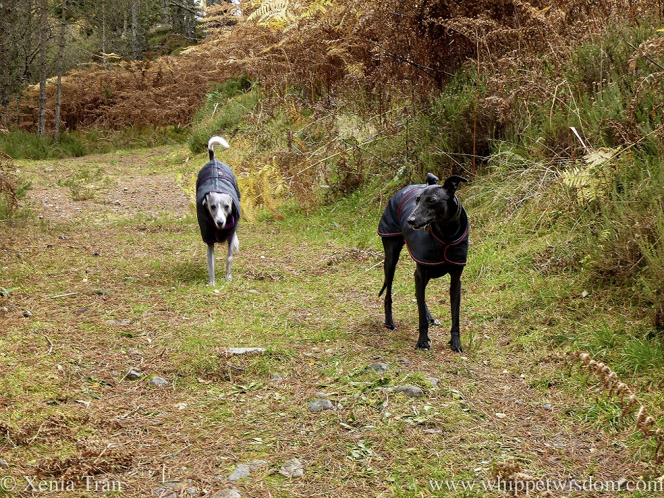 a black whippet waiting for a blue and white whippet running down the forest trail