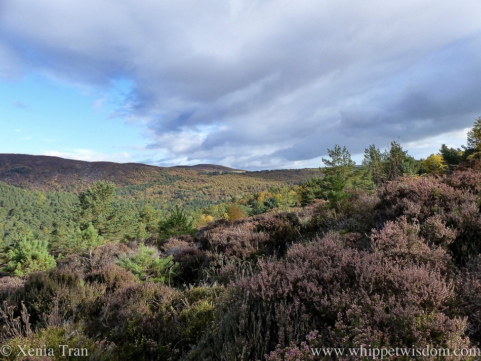 view from a hill over heather, pine and golden birch