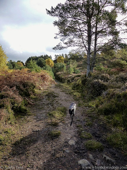 a black whippet in a black jacket striding down a mountain trail