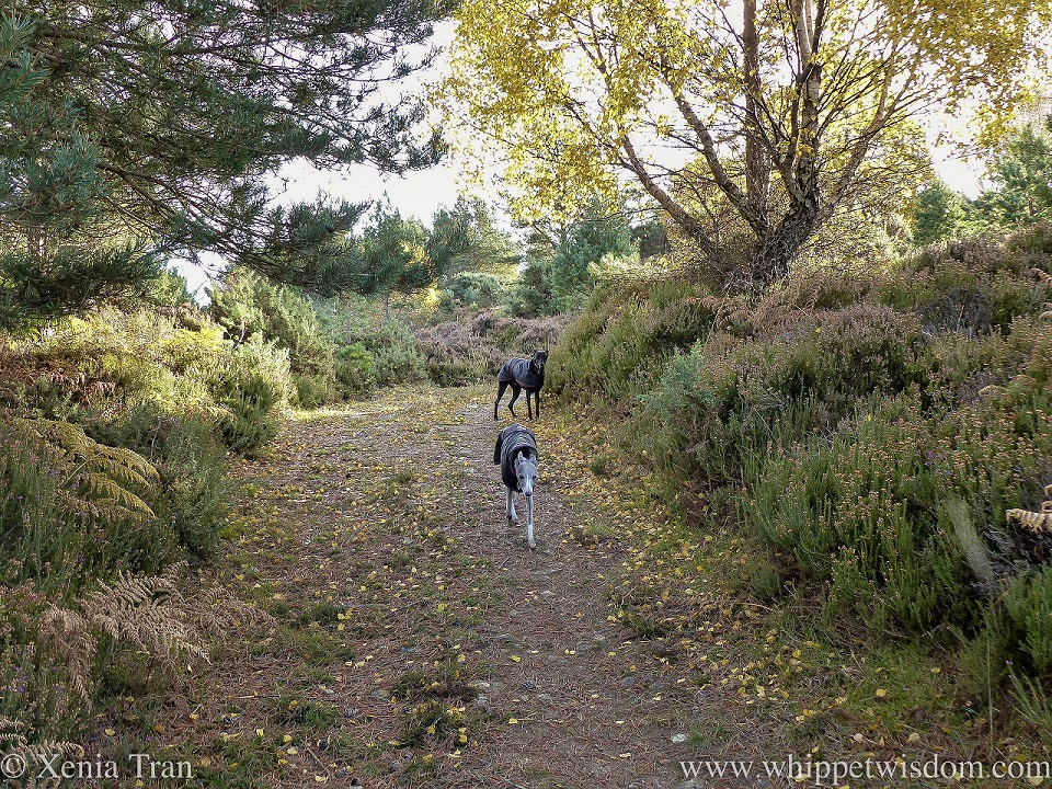two whippets in black jackets on a hill trail with scattered autumn leaves