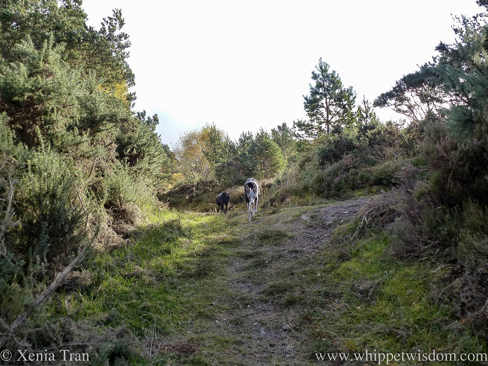 two whippets walking down a forest trail towards the camera