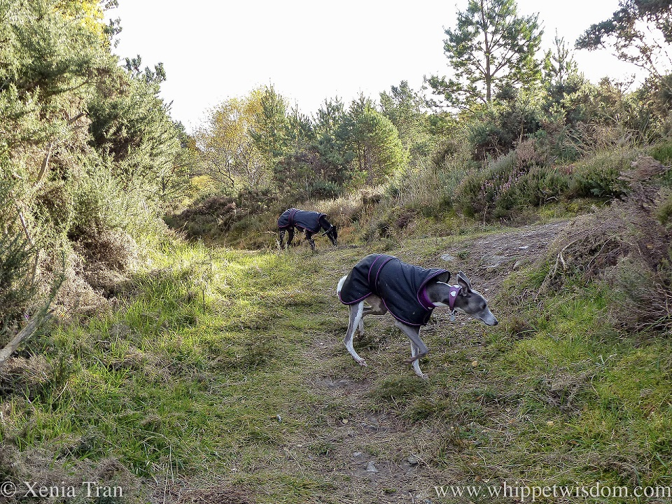 two whippets in black jackets on a hill trail