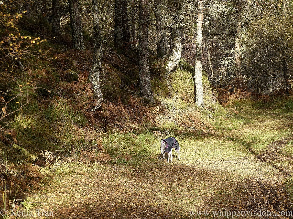 a blue and white whippet in a black jacket climbing a leaf-covered autumn trail through the woods