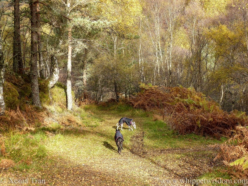 a black whippet and a blue and white whippet in black jackets on an autumnal forest trail