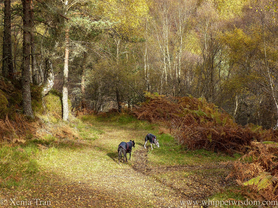 two whippets in black jackets on a forest trail in autumn colours