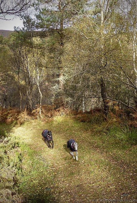a black whippet and a blue and white whippet in black jackets climbing a forest trail in autumn
