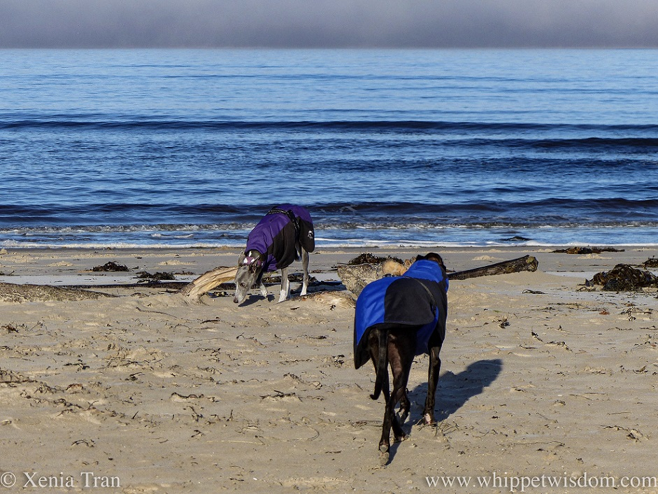 two whippets in winter jackets on the beach beside some driftwood