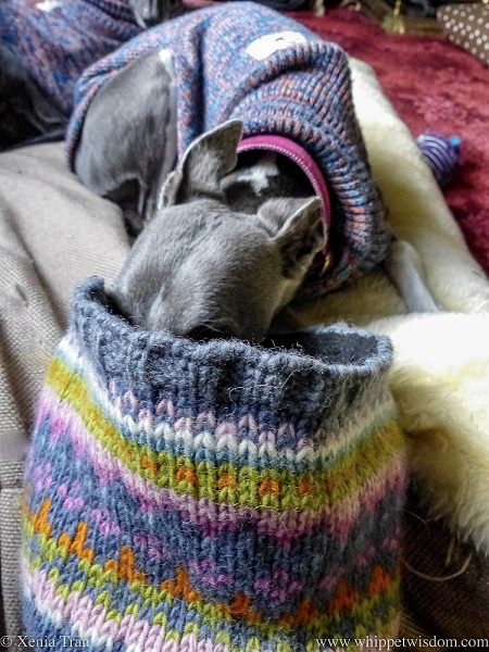 a blue and white whippet in a jumper on a dog bed