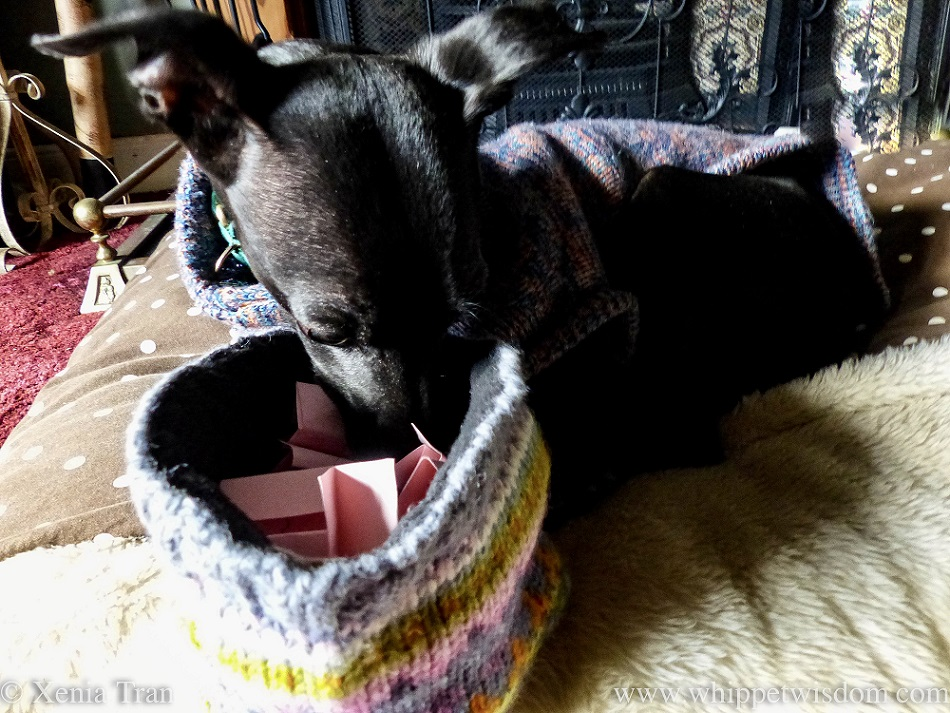 a black whippet in a jumper with his nose in a woolly hat with pink cards