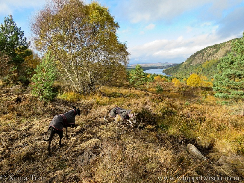 two whippets in black jackets on a hill trail above Loch Migdale