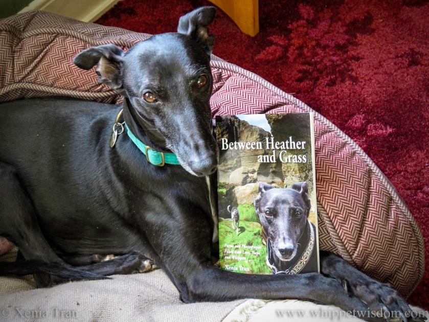 a black whippet with a copy of Between Heather and Grass in his dog bed