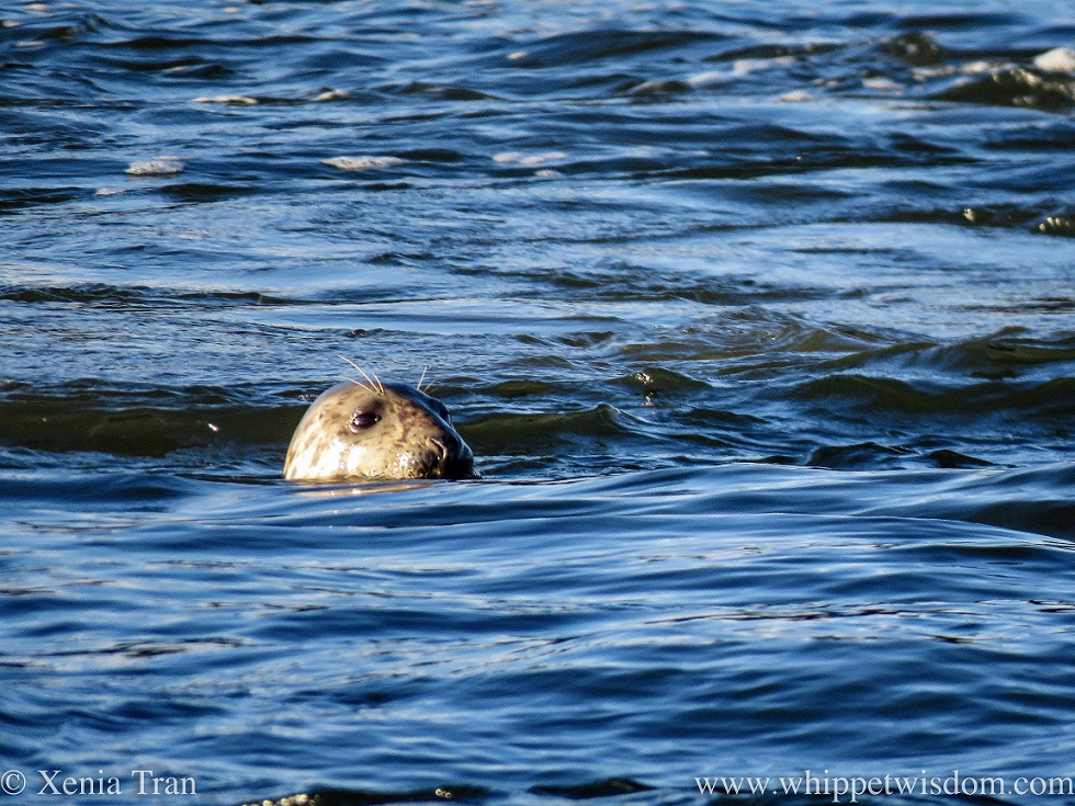 a common seal swimming in the tidal flow, looking slightly past us