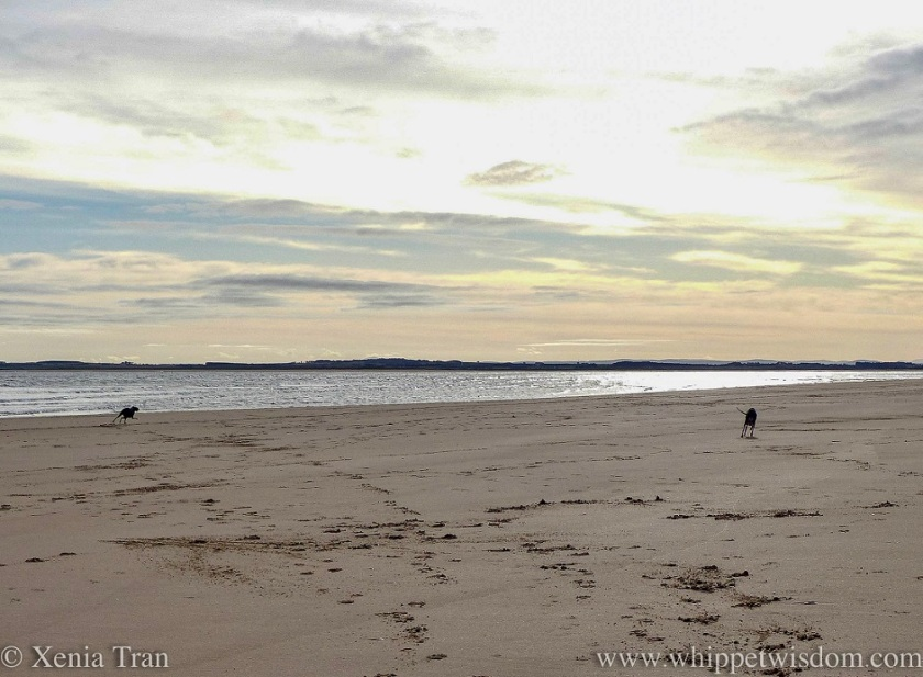 the silhouettes of two whippets running across the beach in the morning sun