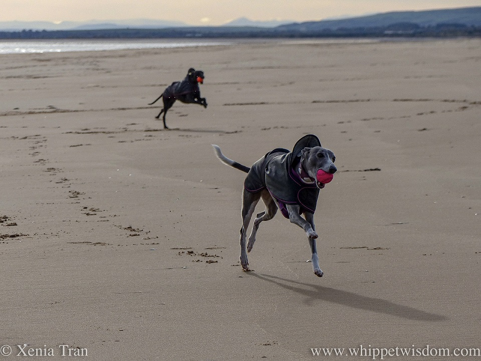 two whippets running across the beach in the morning sun with balls