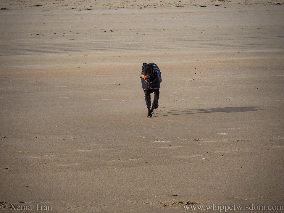 a black whippet in a black jacket on the beach with an orange ball