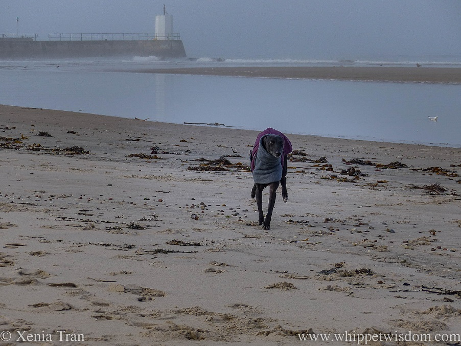 a black whippet in a winter jacket sprinting across the beach