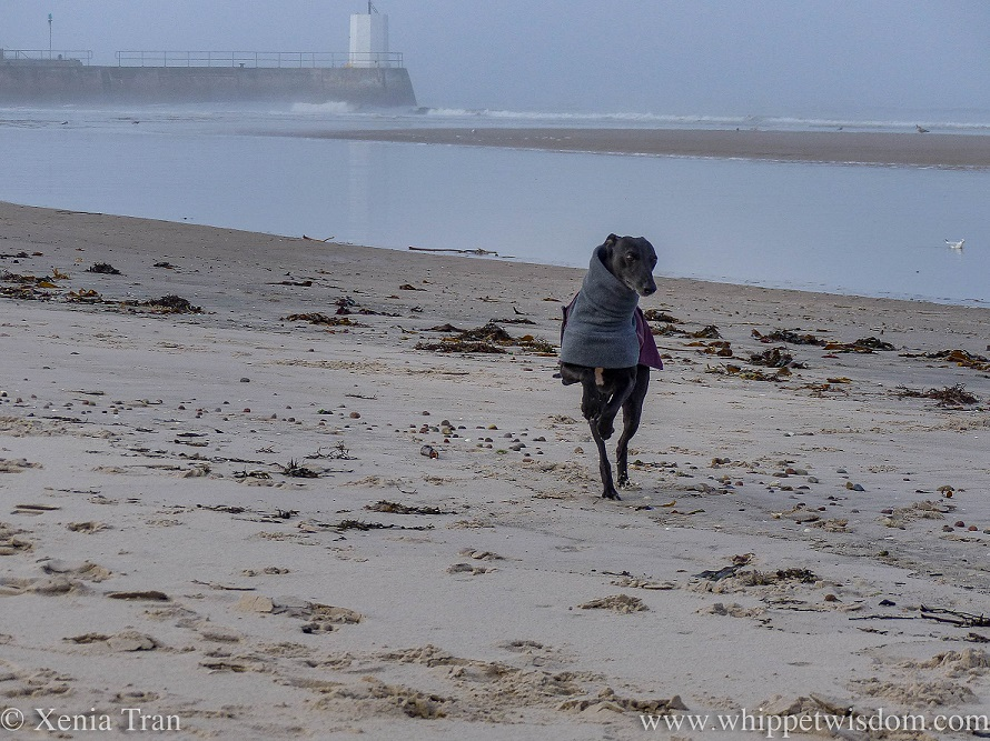 a black whippet in a winter jacket running through mist on the beach