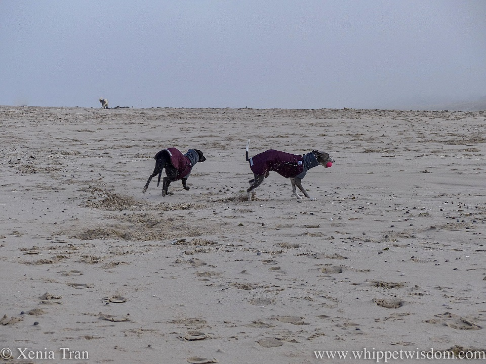 a black whippet in a winter jacket running on the beach with a blue and white whippet in a winter jacket