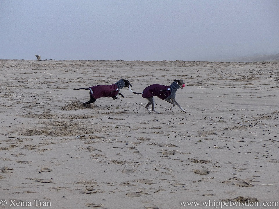 two whippets in winter jackets playing on the beach in thick fog