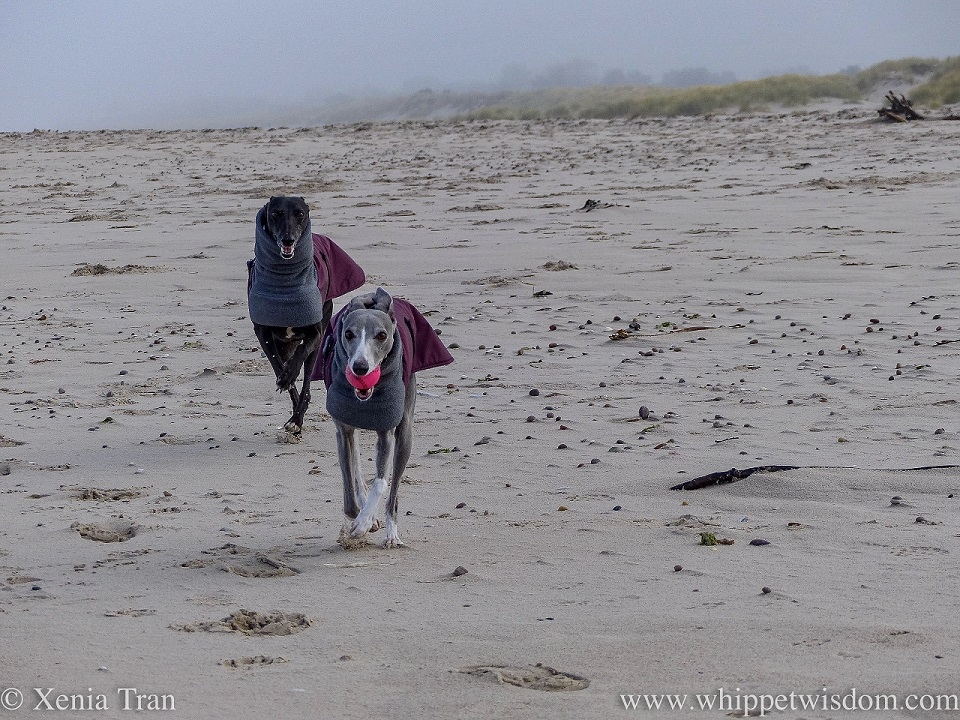 two whippets in winter jackets running towards the camera on the beach