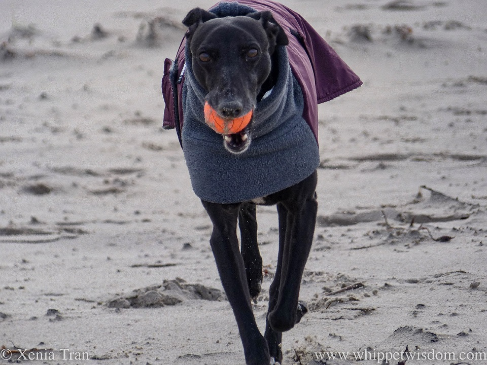 close up of a black whippet in a winter jacket with an orange ball on the beach