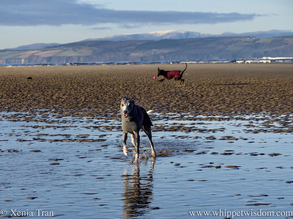 a blue and white whippet and black whippet in winter jackets on the beach
