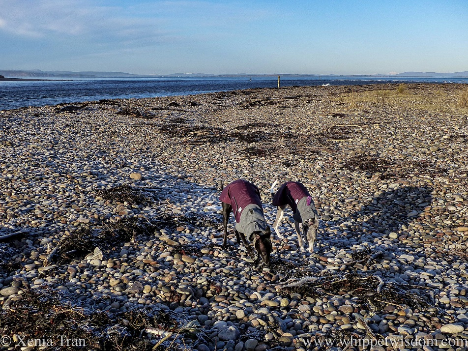 two whippets in winter jackets sniffing the shingle side by side