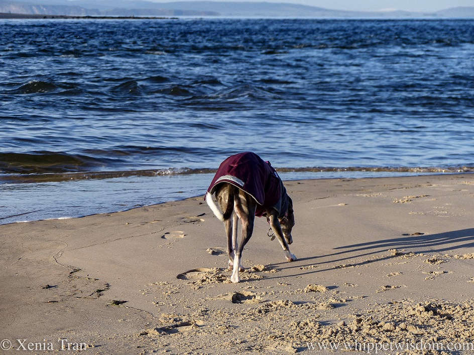 a blue and white whippet walking across a sandbar, sniffing the ground