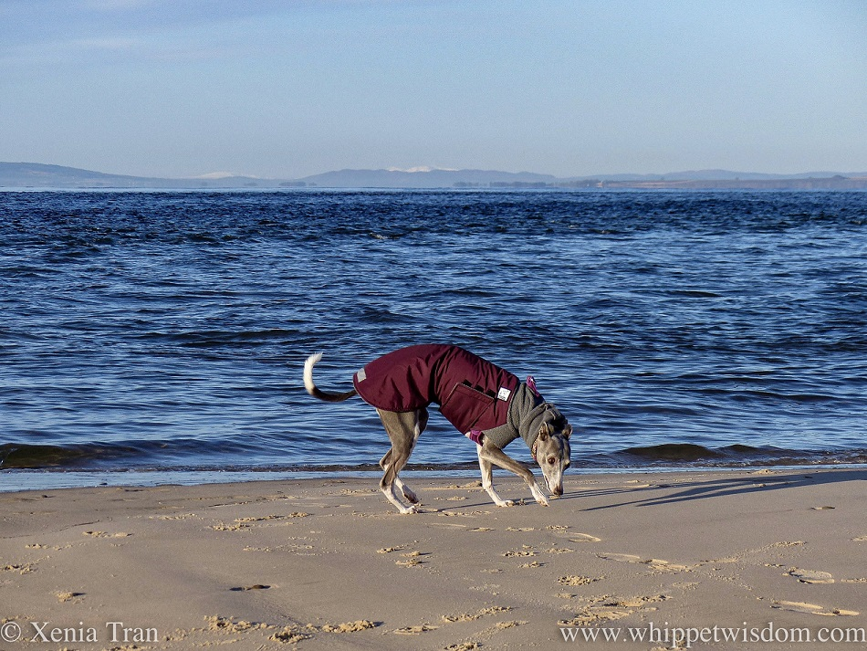 a blue and white whippet in a winter jacket sniffing the sand along the shoreline