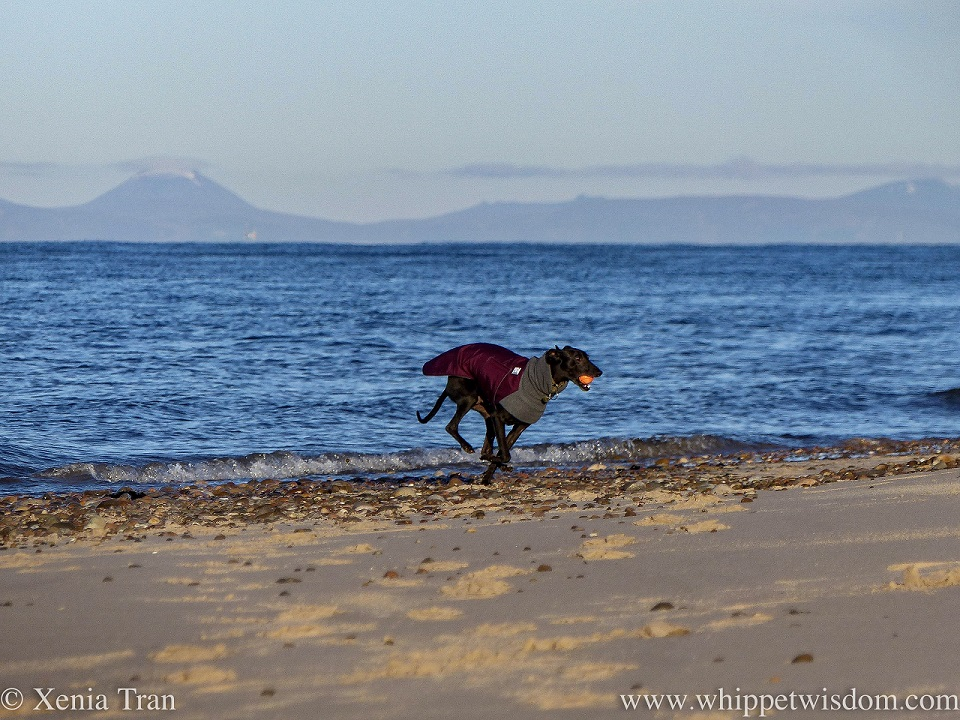 a black whippet sprinting along the shoreline in a winter jacket